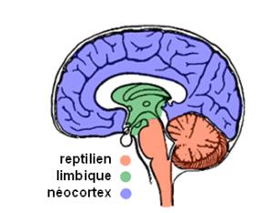 reptilien-limbique-néocortex